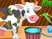 Ingrijeste vacuta Holstein